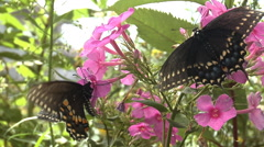 Butterfly extracting nectar from flower Stock Footage