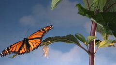 Stock Video Footage of Monarch butterfly on leaf with empty chrysalis flies away