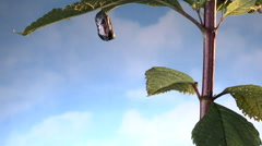 Monarch butterfly emerges from chrysalis and flies away - stock footage