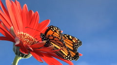 Low angle, Monarch butterfly on flower flies away Stock Footage