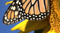 Close-up slow pan of side of Monarch butterfly - stock footage