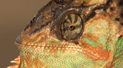 Close-up of Male veiled chameleon face Stock Footage