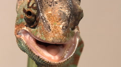 Male veiled chameleon glancing around Stock Footage