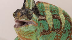 Male veiled chameleon opens and closes mouth Stock Footage