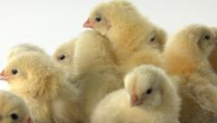 Day old downy chicks huddled together Stock Footage