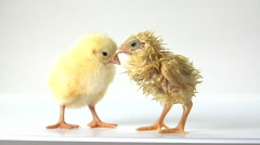 One wet chick shivers beside a dry chick Stock Footage