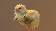 Wet chick peeping and shivering Stock Footage