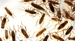 Top view of crickets scurrying against dark background Stock Footage