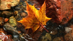 Water trickles around red/yellow maple leaf - stock footage