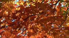 Slow pan through branches of yellow and red maple leaves Stock Footage