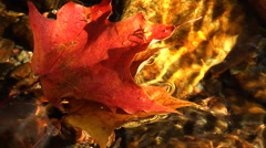 Several Autumn maple leaves floating in clear stream Stock Footage