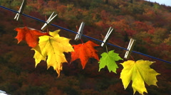 Five autumn maple leaves Stock Footage