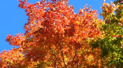 Strong breeze blows through top of red and green maple trees Stock Footage