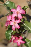 Desert-rose, Ethiopia, Africa Stock Photos