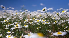 Daisy flowers on summer meadow, time lapse Stock Footage