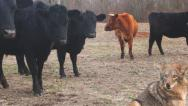 Stock Video Footage of Coyote sizing up a herd of cattle for a weak calf.
