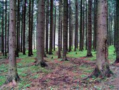 Surface rooted conifers Stock Photos