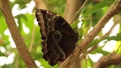 Butterfly Blue Morpho Underside Stock Footage