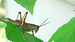 Close Up Eastern Lubber Grasshopper On Tree Leaf Stock Footage