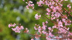 Branch of pink sakura blossoms at Phu Lom Lo mountain, Thailand Stock Footage