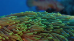 Underwater life in Andaman sea: Anemone Stock Footage