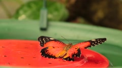 Butterfly Malay Lacewing Stock Footage