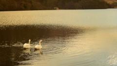Swans Crummoc feeding Stock Footage