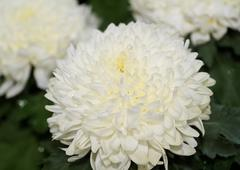 Stock Photo of beauty color chrysanthemum flowers