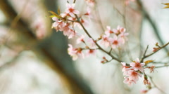 Vintage of pink sakura blossoms at Phu Lom Lo mountain, Thailand Stock Footage