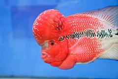 Flowerhorn Cichlid fish in the aquarium . Stock Photos