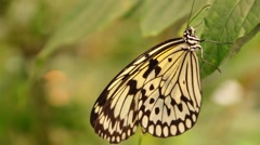Butterfly Tree Nymph Stock Footage