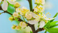 Wild plum flower blossoming Stock Footage