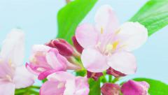 Weigela florida blooming in a time lapse Stock Footage