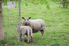 Sheep with lambs Stock Photos