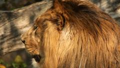 Shaggy head of drowsy lion in profile close up on fallen tree wood background. Stock Footage