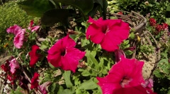Rosy red flowers on green flower bed with wooden décor mirabilis Stock Footage