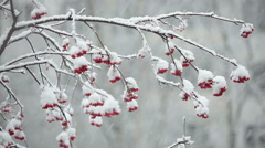Snow falls on clusters of mountain ash during snowfall Stock Footage