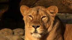 Adorable face close up of lioness in sunset soft light Stock Footage
