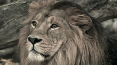 Head of golden lion in profile close up on fallen tree wood background. Stock Footage