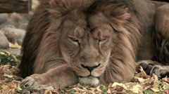Stock Video Footage of Sleepy head and mighty paws of golden lion close up on autumn background.