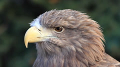 Head in profile with winded floss on beak of white-tailed sea eagle or erne Stock Footage