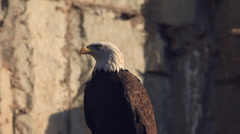 Head and breast of bald eagle, haliaeetus leucocephalus, on rocky background - stock footage