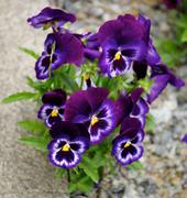 Purple Blue Pansy Stock Photos