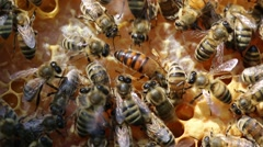 Queen bee Stock Footage