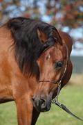 Beautiful arabian mare - stock photo