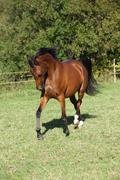 Nice brown arabian mare running Stock Photos