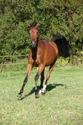Nice brown arabian mare running - stock photo