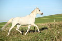 Amazing white arabian stallion running - stock photo
