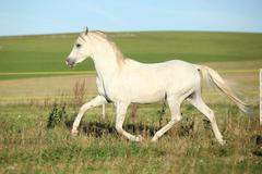 Amazing white arabian stallion running - stock photo