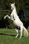 Stock Photo of Beautiful white arabian stallion prancing